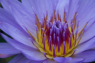 blauer Lotus