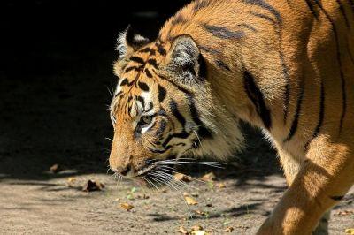 Stolzer Tiger