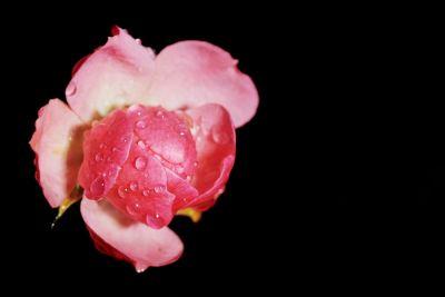 rosa Rose nach dem Regen